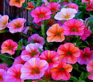 http://flowerenthusiast.typepad.com/images/petunia.jpg